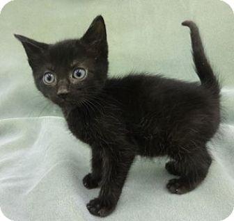 Domestic Shorthair Kitten for adoption in Olive Branch, Mississippi - Poe