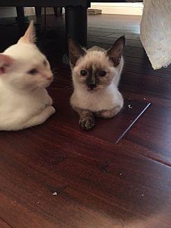 Siamese Cat for adoption in Austin, Texas - Gypsy 3