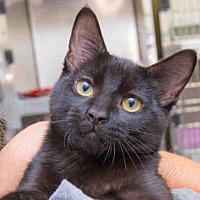 Adopt A Pet :: BEAR - West Valley, UT