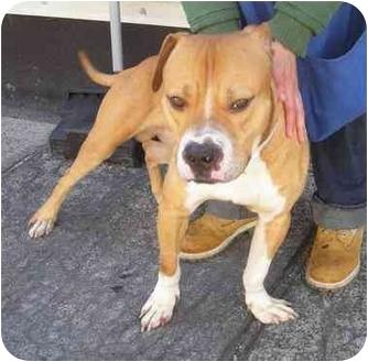 American Bulldog/Staffordshire Bull Terrier Mix Dog for adoption in Brooklyn, New York - Buddy