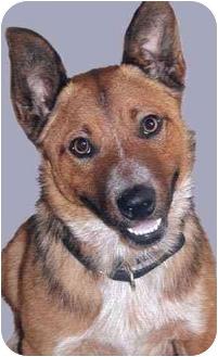 Australian Cattle Dog Mix Dog for adoption in Grass Valley, California - Rebel