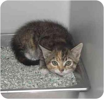 Domestic Shorthair Kitten for adoption in New Kent, Virginia - Delilah