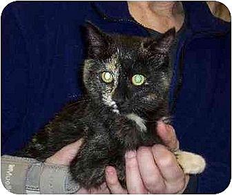 Domestic Shorthair Cat for adoption in Stuarts Draft, Virginia - Mel