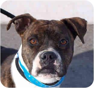 Boxer Mix Dog for adoption in Reno, Nevada - Kit Kat