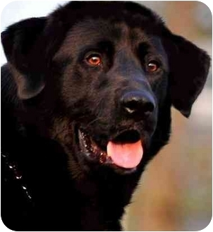 Newfoundland/Labrador Retriever Mix Dog for adoption in Pawling, New York - CLAUDE