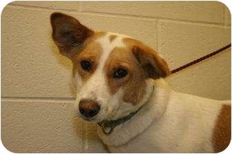Collie/Labrador Retriever Mix Dog for adoption in Clarksville, Tennessee - Christina