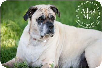Mastiff Dog for adoption in Broomfield, Colorado - Grace