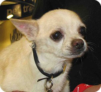 Chihuahua Mix Dog for adoption in Loudonville, New York - Buster