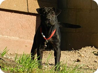 Shar Pei Mix Dog for adoption in Lawrenceburg, Tennessee - Grizzly
