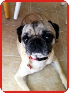 Pug Dog for adoption in Pismo Beach, California - Galley