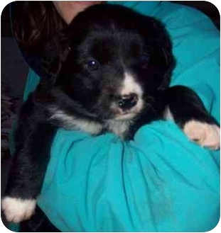 Border Collie Mix Puppy for adoption in Chapel Hill, North Carolina - Sela