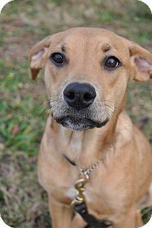Labrador Retriever/Catahoula Leopard Dog Mix Dog for adoption in Lebanon, Maine - Zitz-URGENT