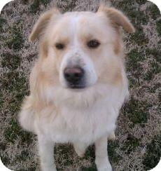 Collie/Sheltie, Shetland Sheepdog Mix Dog for adoption in Union City, Tennessee - Drake
