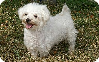 Maltese Mix Dog for adoption in Englewood, Florida - T.J.