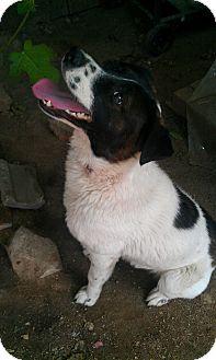 Border Collie/Golden Retriever Mix Dog for adoption in Irvine, California - Thomas