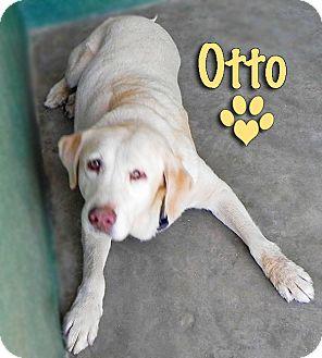 Labrador Retriever Dog for adoption in CABO SAN LUCAS, California - OTTO