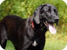 Labrador Retriever/Hound (Unknown Type) Mix Dog for adoption in Cincinnati, Ohio - McGee