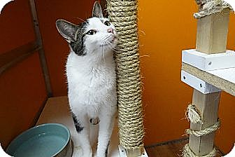 Domestic Shorthair Cat for adoption in Elyria, Ohio - Patrick