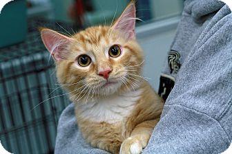 Domestic Mediumhair Cat for adoption in St. Louis, Missouri - Theodore