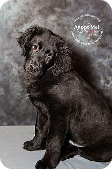 Newfoundland Mix Puppy for adoption in Cincinnati, Ohio - Sullivan