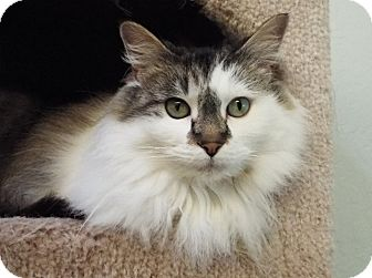 Domestic Longhair Cat for adoption in Grants Pass, Oregon - Mimi