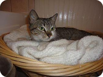 Domestic Shorthair Kitten for adoption in Bulverde, Texas - Starling 2