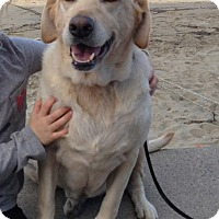 Adopt A Pet :: Lola - Burbank, CA
