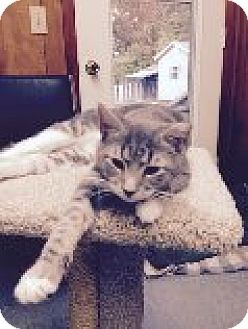 Domestic Shorthair Cat for adoption in Randleman, North Carolina - Frisky