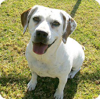 Beagle/English Bulldog Mix Dog for adoption in El Cajon, California - Kanaya