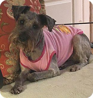 Schnauzer (Miniature) Dog for adoption in Atlanta, Georgia - Sadie