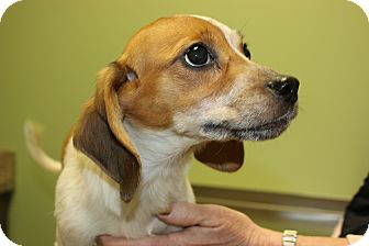 Beagle/Hound (Unknown Type) Mix Puppy for adoption in LaGrange, Kentucky - DONNA JO