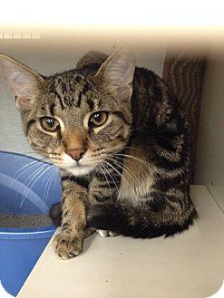 Domestic Shorthair Cat for adoption in Warren, Michigan - Squiggy