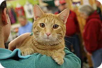 Domestic Shorthair Cat for adoption in Rochester, Minnesota - Marley