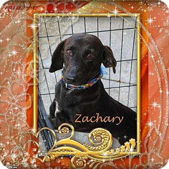 Dachshund Mix Dog for adoption in Crowley, Louisiana - Zachary