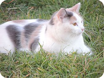 Calico Cat for adoption in Denver City, Texas - Chloe