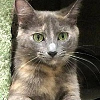 Domestic Shorthair Cat for adoption in Farmington Hills, Michigan - Matilda