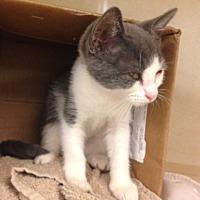 Adopt A Pet :: Peewee - Dallas, TX