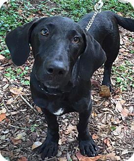 Labrador Retriever/Basset Hound Mix Dog for adoption in Orlando, Florida - Benjamin