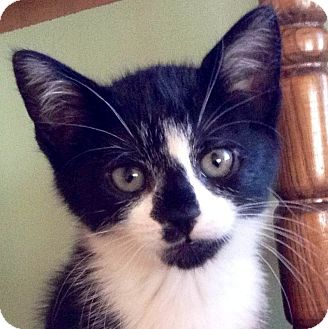 Domestic Shorthair Kitten for adoption in Brimfield, Massachusetts - Slash