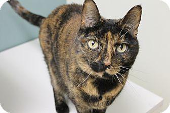 Domestic Shorthair Cat for adoption in Medina, Ohio - Honeybun