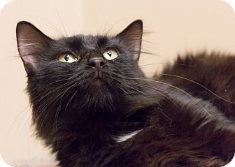 Bombay Cat for adoption in Chicago, Illinois - Shelley
