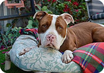 American Staffordshire Terrier/Pit Bull Terrier Mix Dog for adoption in Los Angeles, California - Nicky