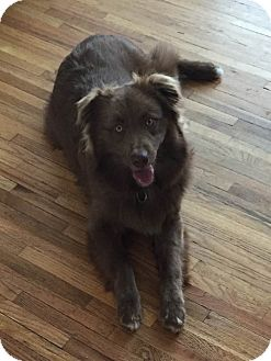 Australian Shepherd Dog for adoption in Minneapolis, Minnesota - Bear