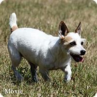 Adopt A Pet :: MOXIE - Terra Ceia, FL