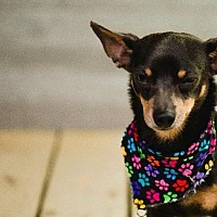 Chihuahua Mix Dog for adoption in Matawan, New Jersey - Opie