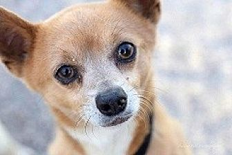 Chihuahua Mix Dog for adoption in Mesa, Arizona - Rascal