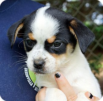 Beagle/Chihuahua Mix Puppy for adoption in Newark, Delaware - Harper