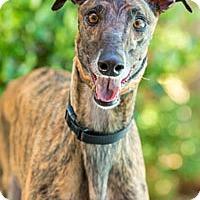 Adopt A Pet :: Saldana - Walnut Creek, CA