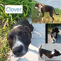 Adopt A Pet :: Clover - Flint, MI