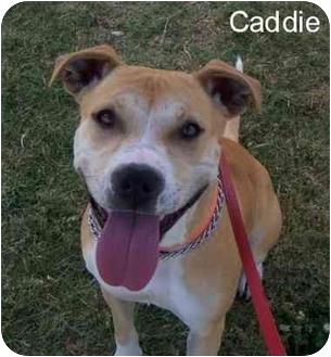 Beagle/American Pit Bull Terrier Mix Dog for adoption in Auburn, California - Ginger